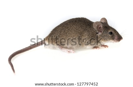 a little mouse isolated on a white background