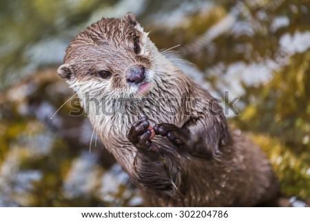 A little otter - stock photo