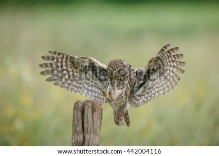 A little owl lands upon a fence post backed by a buttercup meadow - stock photo