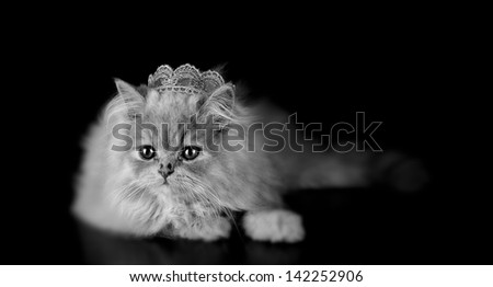 A little persian kitten cat, posing with a crown of the king on black background and in black and white. Concept of lion king. - stock photo