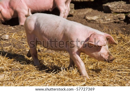 A little pig walking through the hay - stock photo