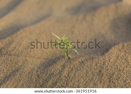 A little plant growing out of the sand dunes in the Gobi Desert, - stock photo