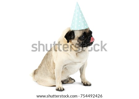 A little pug in a funny festive cap of blue color sits and licks its muzzle. . Isolated on white background.