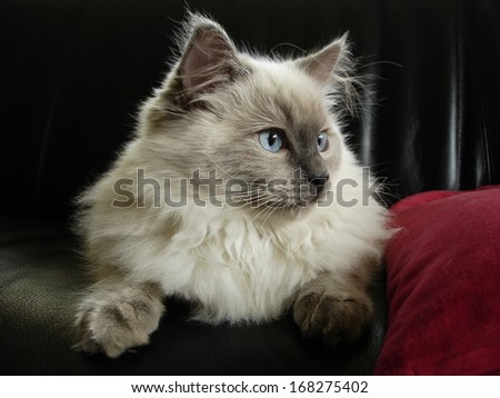 A little Ragdoll cat. - stock photo