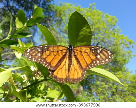 A lively monarch butterfly feeding on lemon blossoms. - stock photo