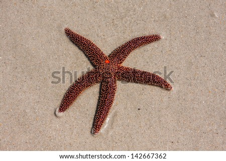 A living red starfish in the sand at the beach