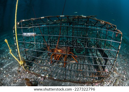 A lobster sits in a lobster trap near the Channel Islands in California. Lobster season in California runs 6 and a half months. - stock photo