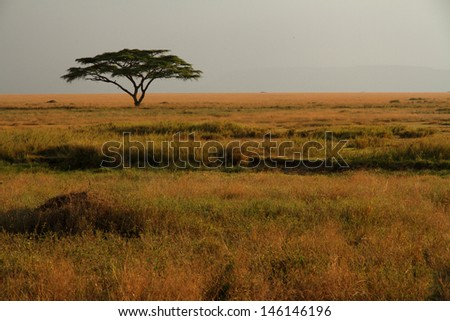 A lone acacia tree sitting in the colorful grasses of the African savannah - stock photo