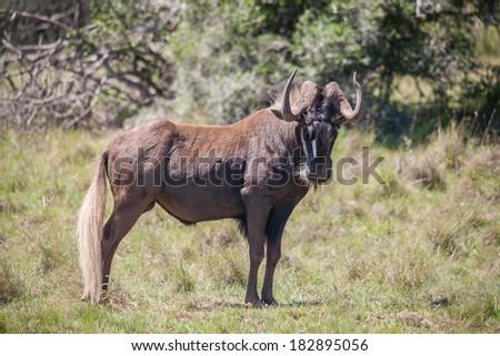 A lone Black gnu - stock photo