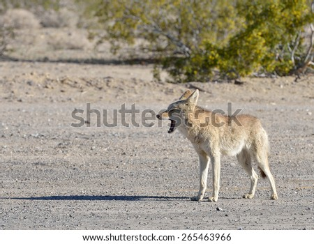 A lone coyote (Canis latrans) yawns in the early morning sun near Death Valley National Park in California - stock photo