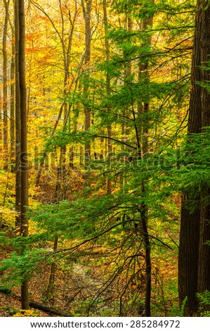 A lone evergreen tree stands out against the golden hues of an autumn woods - stock photo