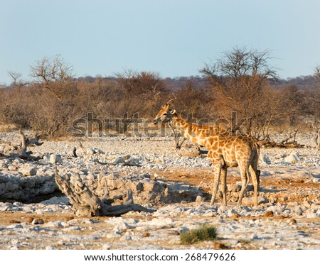 A lone giraffe drinking from a waterhole in Ongava national reserve