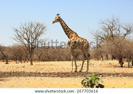A lone giraffe standing next to a waterhole in Ongava Private Reserve - Namibia - stock photo