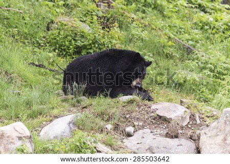 A lone large black bear