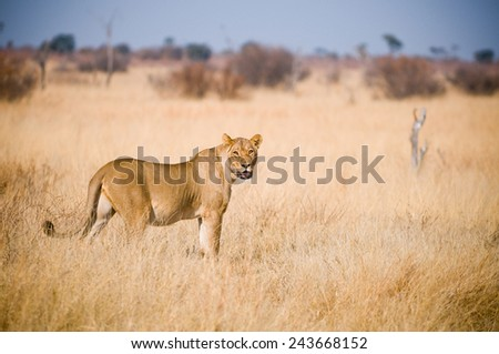 A lone lioness gazes at the camera - stock photo