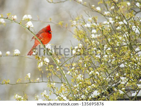 A lone male Redbird sits on a snowy rose bush. - stock photo