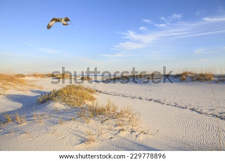 A Lone Osprey Flies Over a Beautiful White Sand Beach as the Sun Sets Casting Long Shadows - stock photo