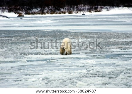 A lone polar bear sniffing the ice