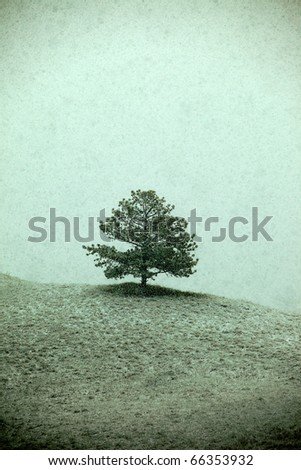 A lone Ponderosa pine sites on the precipice of a hill as snow falls. - stock photo