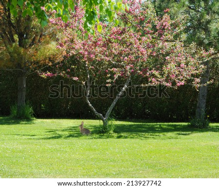 A lone rabbit sits contently beneath a flowering crab apple tree in the Spring. - stock photo