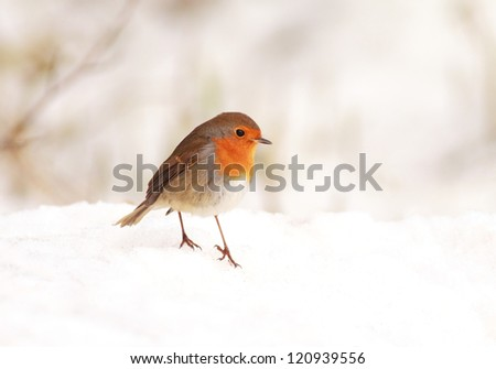A lone Robin standing on a snow covered meadow searching for food - stock photo