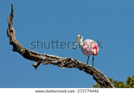 A lone Roseate Spoonbill standing on a branch looking over its shoulder with a deep blue sky in the background. Taken in late afternoon light. - stock photo