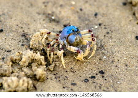 A lone Soldier Crab feeding - Mictyris longicarpus is a species of crab that lives on sandy beaches from the Bay of Bengal to Australia. - stock photo