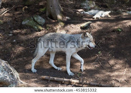 A lone timber wolf in the summer shade - stock photo