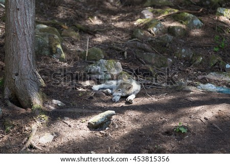 A lone timber wolf in the summer shade