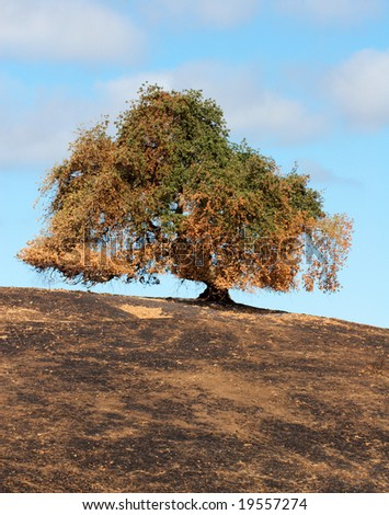 A lone tree on a burned hill after a brush fire. - stock photo
