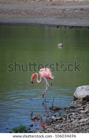 A lone, wild flamingo with a damaged wing in Bonaire - stock photo