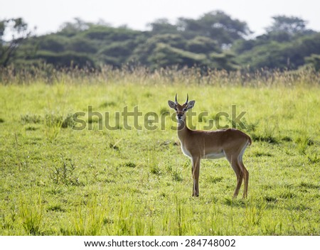 A lonely impala at the Murchison Falls National Park in Uganda, Africa - stock photo