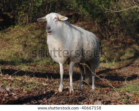 A lonely sheep, typically found in dune areas in The Netherlands - stock photo
