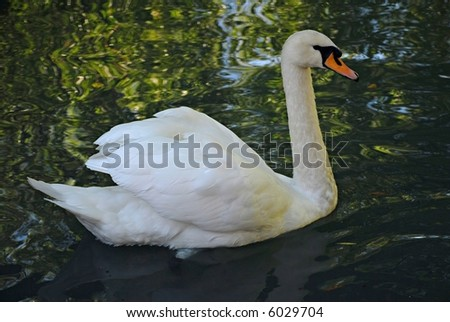 A lonely swimming swan - stock photo