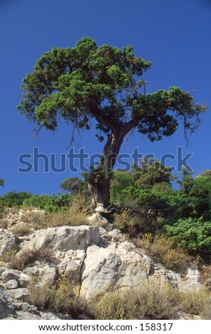 A lonely tree - Croatia; Dalmatia