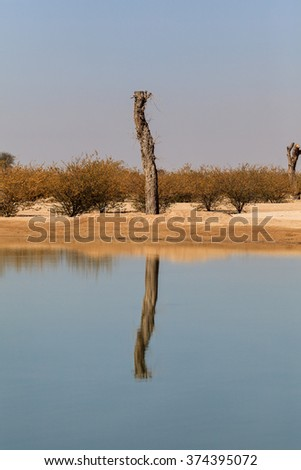 A lonely tree surviving the heat in the desert of Al Qudra, Dubai, UAE with its reflection in the lake water.  - stock photo