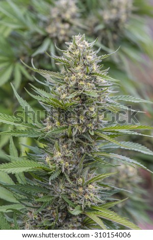 """A long and sticky medical marijuana """"bud, or """"cola,"""" with visible crystals and purple hairs, ready for harvest.  Legally grown in California, USA. - stock photo"""