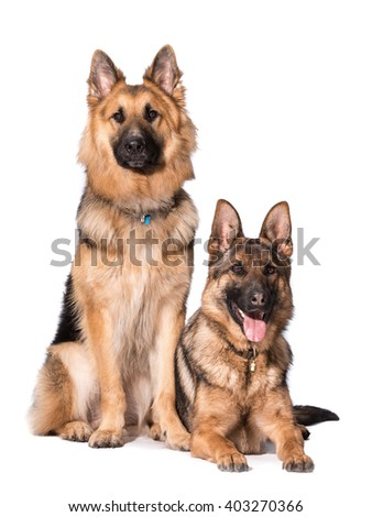 a long haired and short haired german shepherd isolated on white