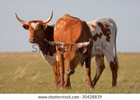 A long-horned cow and steer grazing in a spring pasture. - stock photo