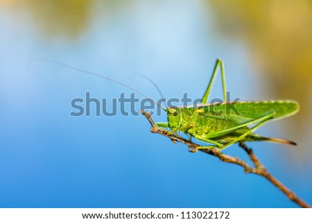 A Long Horned Grasshopper on a branch with the sea as backdrop - stock photo