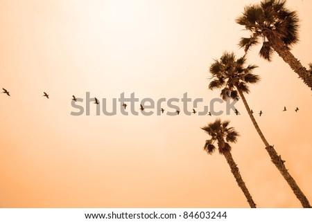 A long line of pelicans flying across an orange sky at sunset, with palm trees in the foreground - stock photo