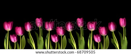 a long line of pink tulips on black - stock photo