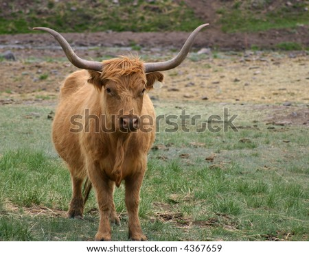 A longhorn-highland crossbred steer with long red hair - stock photo