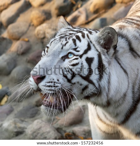 A looking up white bengal tiger on rocky background. The most beautiful animal and very dangerous beast of the world. This severe raptor is a pearl of the wildlife. Animal face portrait.