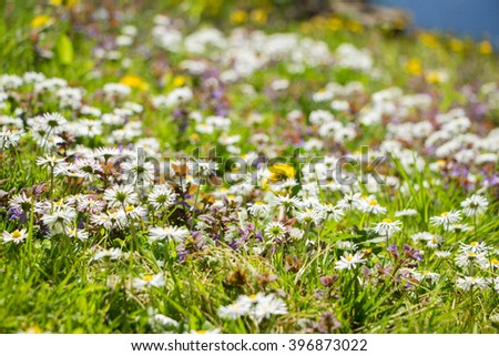 A lot of Blooming small chamomile flowers on a meadow in summer. Wild White chamomile flowers on a field with green grass. Shallow depth of field. Blurred background. Symbol of sunny summer beginning - stock photo