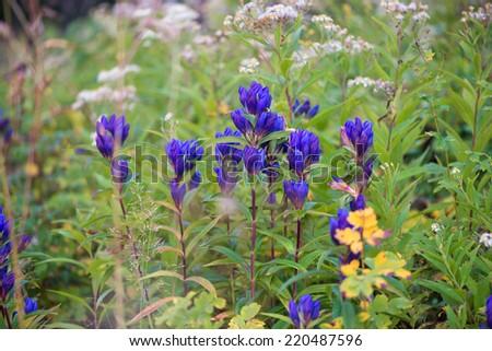 A lot of blue flower. Russia. Sakhalin Island - stock photo