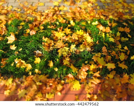 a lot of bright yellow maple leaves fallen on the lawn and pavage with blurred background and foreground - stock photo