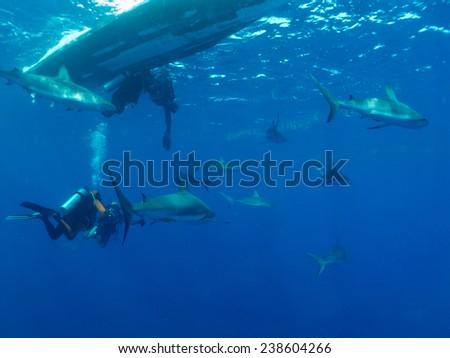 a lot of Caribbean reef sharks (Carcharhinus perezi) and scubadivers - stock photo