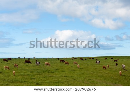 A lot of cows in field on the hill with blue sky and white cloud.