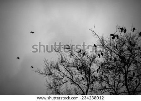 A lot of crows sitting on a leafless tree. Black and white - stock photo
